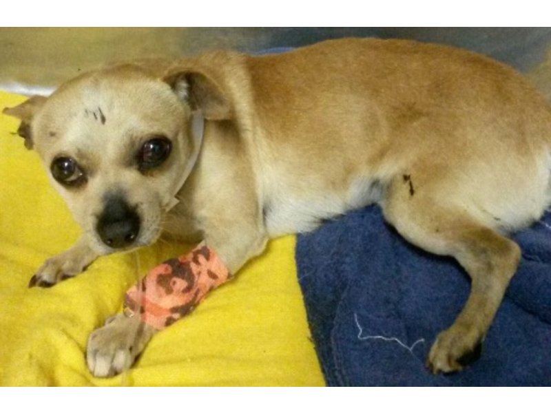 Parsippany Police Rescue Chihuahua Dog Who Was Stuck By Car Tri