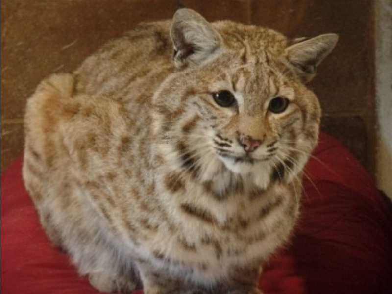 Rocky The Bobcat Formerly A Popcorn Park Zoo Resident In Lacey Now On Loose