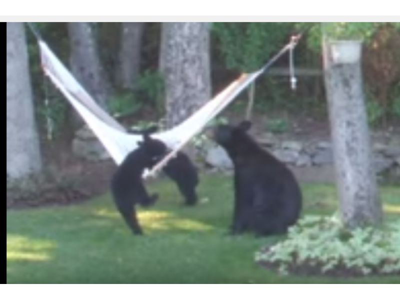 watch  video shows bear family lounging in hammock in n j  watch  video shows bear family lounging in hammock in n j       rh   patch