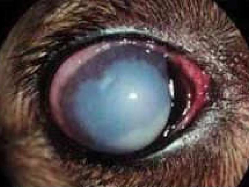 Eye Checks For Dogs
