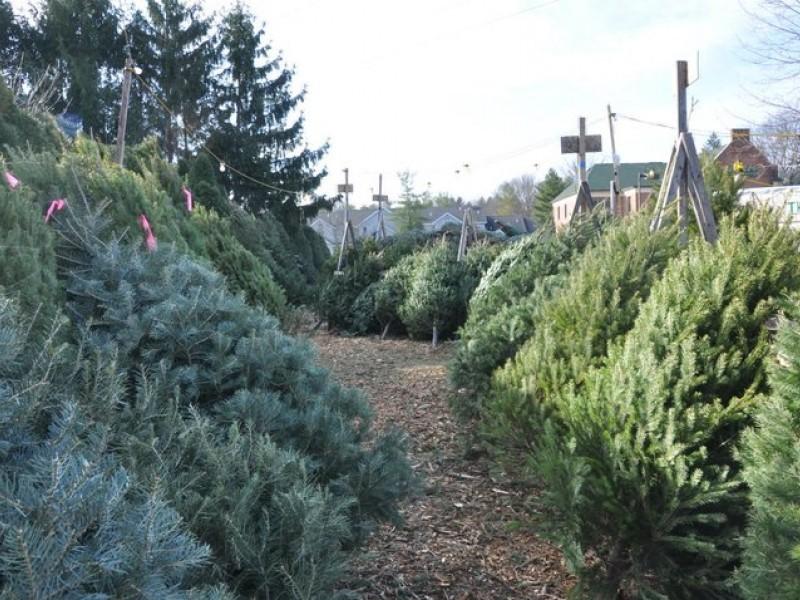 Croton Lions Club Christmas Tree Sale Starts Sunday