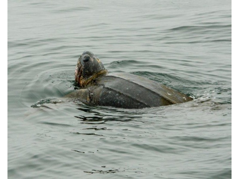 Rare Pacific Leatherback Sea Turtles Spotted in Monterey Bay