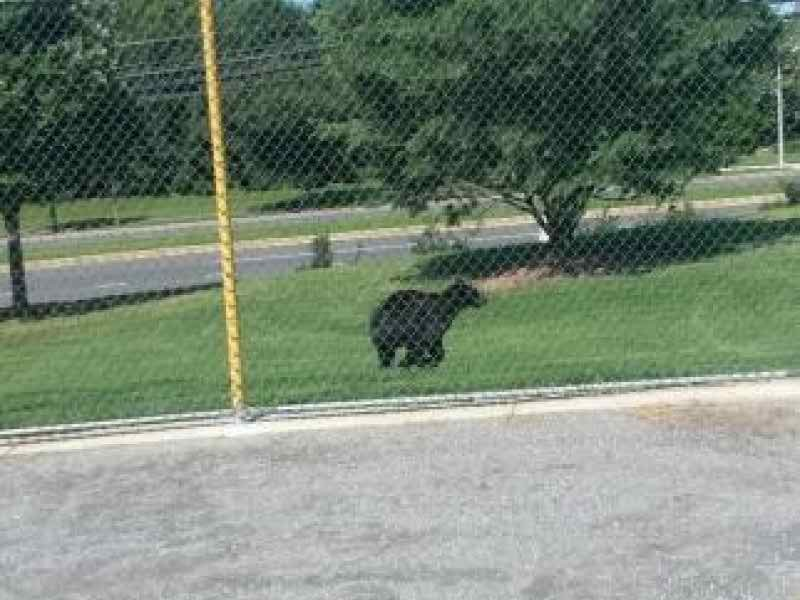 Black Bear Tries To Beat Montgomery Traffic Potomac Md
