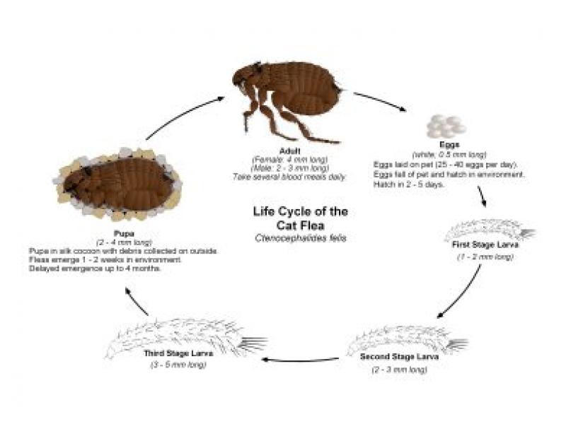 Flea Borne Typhus How To Diagnose Avoid The Disease