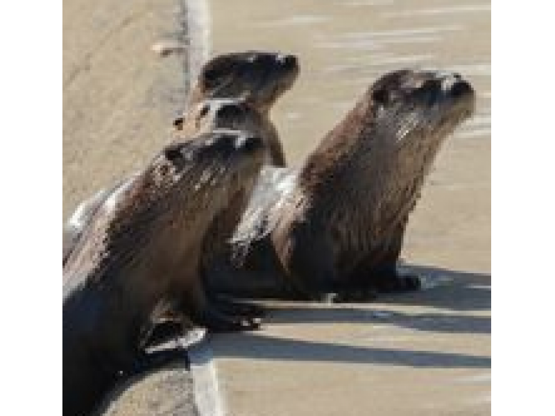 River Otters Thriving At Heather Farm Park Walnut Creek Ca Patch