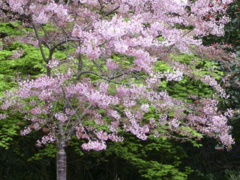 Photo gallery cherry blossoms in bloom la ca ada - Descanso gardens cherry blossom festival ...