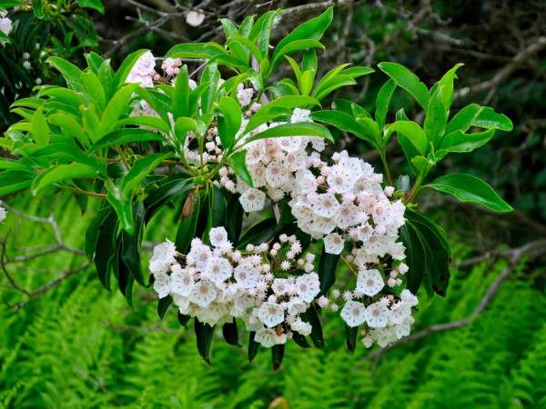Mountain Laurel Sanctuary At Peek Bloom Tolland Ct Patch
