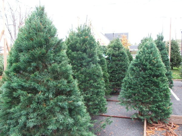 Gig Harbor Boy Scouts Offering Christmas Tree Pick Up Service on ...
