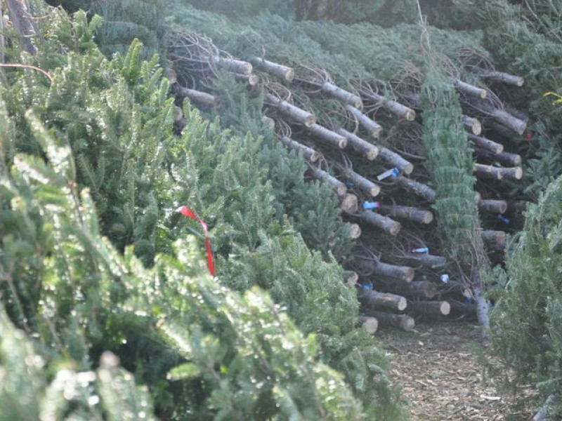 Keep Your Christmas Tree Green And Recycle It