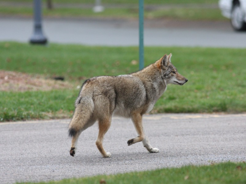 Coyote Sightings On The Rise In Simsbury Residents Warned