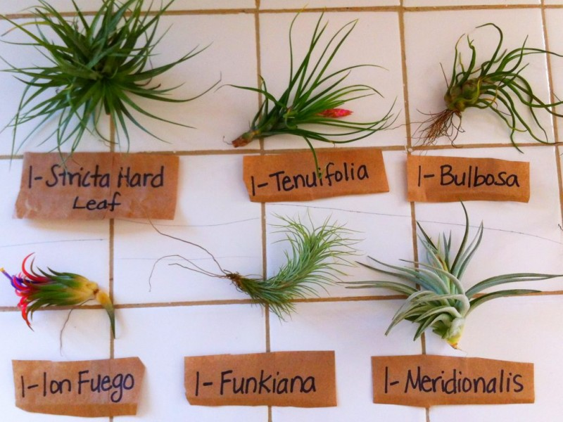 sophisticated Air Plant Species Pictures - Best inspiration home ...
