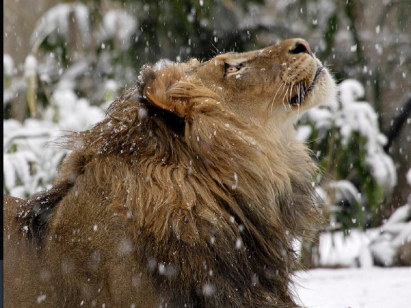 photo  lion in winter  smithsonian national zoo