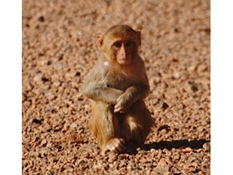 Monkey Missing From Gwinnett Research Facility