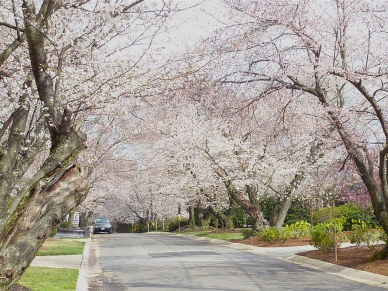 showing 1st image of Maryland State Government Holidays 2018 Cherry Blossoms Bloom in Kenwood | Bethesda, MD Patch