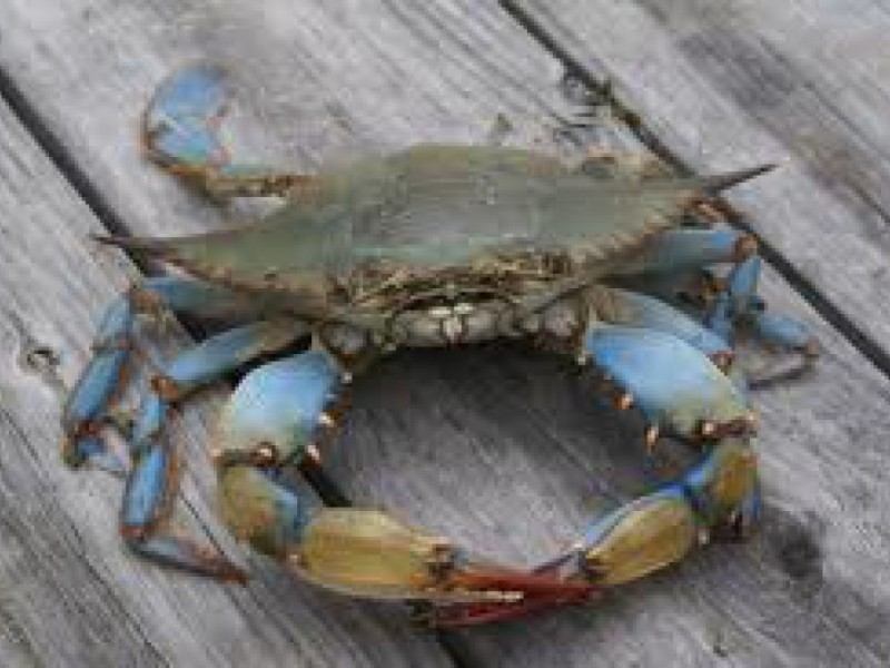 Marine fishing report blue claw crabbing time is now for Blue crab fishing