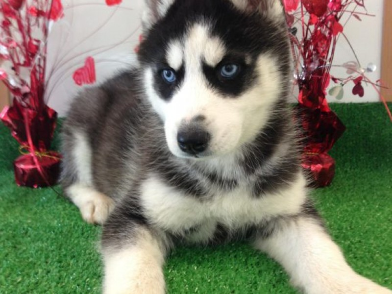Husky Pup Allegedly Stolen From Temecula Shop Temecula Ca Patch