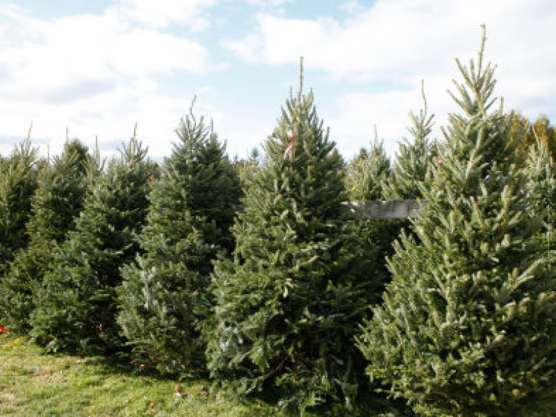 Best Places to Buy Christmas Trees in Minnesota - Best Places To Buy Christmas Trees In Minnesota Edina, MN Patch
